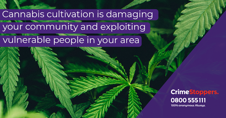 Crimestoppers raising awareness of residential cannabis cultivation