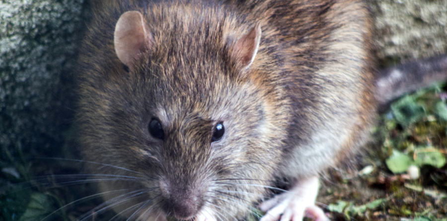Lockdown boosts rat population to 150 million in the UK